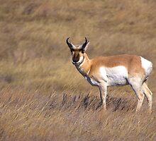 Lone Buck by JamesA1