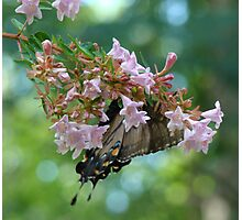 Butterfly Dreams II Photographic Print