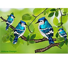 Blue jays (3079 views) Photographic Print