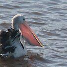 The Catch - Australian Pelican by Louise Linossi Telfer