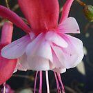 Pink Dancer by DEB CAMERON