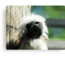cotton-headed tamarin (Saguinus oedipus) & AQUARIUM ACT Canvas Print