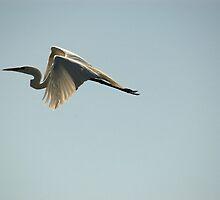 Great Egret by JimSanders