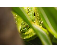 Green Snake Photographic Print
