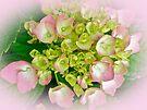 Pink Hydrangea (Hydrangea macrophylla) by MotherNature