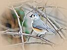 Tufted Titmouse (Baeolophus bicolor) Songbird by MotherNature