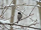 Black-Capped Chickadee (Poecile atricapillus) Songbird by MotherNature