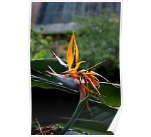 Tropical Bird of Paradise Flower Poster