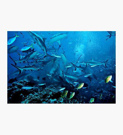 Shark Feed at North Horn, Coral Sea Photographic Print