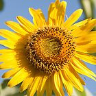 macro shot of sunflower by rajeshbac