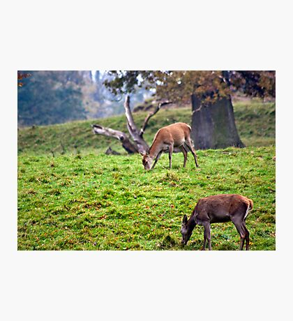 Red Deer Does Photographic Print