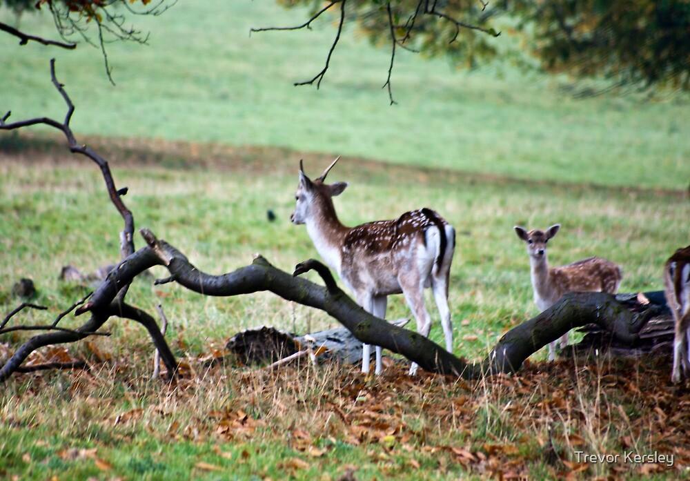 Fallow Deer   by Trevor Kersley