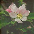 Apple Blossom by Karen  Betts