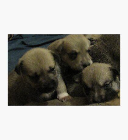 three of jerzy's pups Photographic Print
