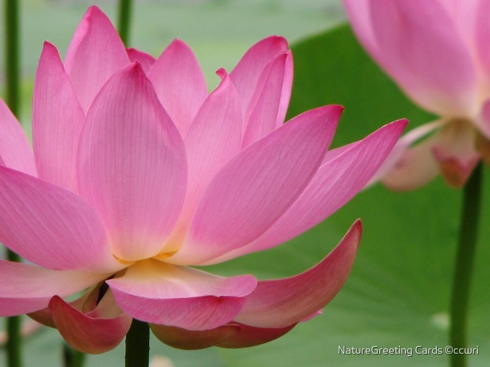Pink Lotus by NatureGreeting Cards ©ccwri