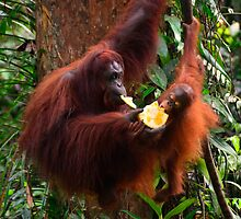 Orangutans - Borneo by Brendan Buckley