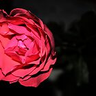 Red Rose with background by Guilherme Milner