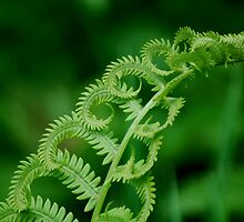 Young Fern  by Diane Blastorah