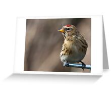 Redpoll Greeting Card