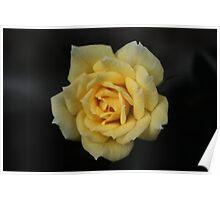 Macro - Yellow 'Mini-Rose' Poster