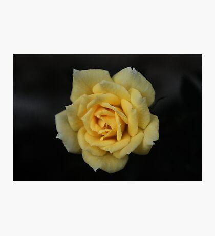 Macro - Yellow 'Mini-Rose' Photographic Print