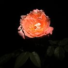 Beautiful Orange Rose with background by Guilherme Milner