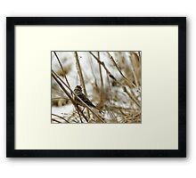 Song Sparrow Near Creek in March Framed Print