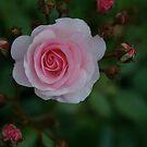 a rose...@ 103 views...  by dabadac