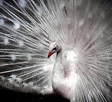 albino peacock by Virag Anna Margittai