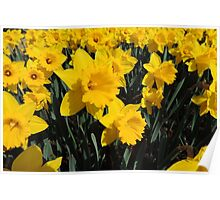 Daffodil Festival - Rydal, New South Wales Poster