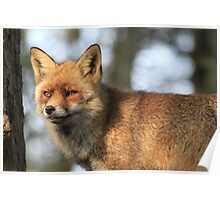 Red Fox - 847 Poster