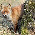 Red Fox - 1097 by DutchLumix