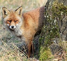 Red Fox - 1097 by DutchLumix