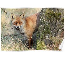 Red Fox - 1097 Poster
