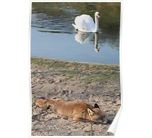 Sleeping Red Fox and the White Swan Poster