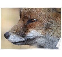 Close-Up from a Red Fox  Poster