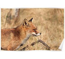 Red Fox - 1087 Poster