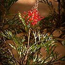 """Grevillea On Show"" by Heather Thorning"