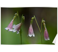 Several Twinflowers Close-up Poster