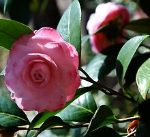 Pink Japanese Camellia by WhiteOaksArt