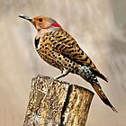 female common flicker 2_2011 by leftysphotos
