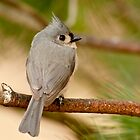 tufted titmouse 1_2011 by leftysphotos
