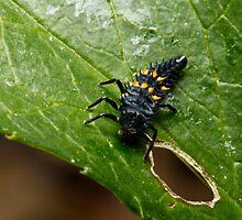 Ladybug Larvae by Colin  Ewington