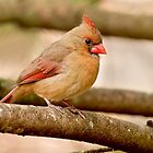 female cardinal 3_2011 by leftysphotos