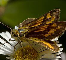 Hawk Moth by Colin  Ewington
