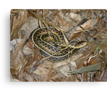 Young Eastern Garter Snake - Thamnophis sirtalis Canvas Print