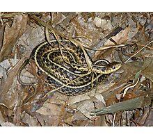 Young Eastern Garter Snake - Thamnophis sirtalis Photographic Print