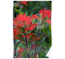 Oregon Indian Paintbrush Poster