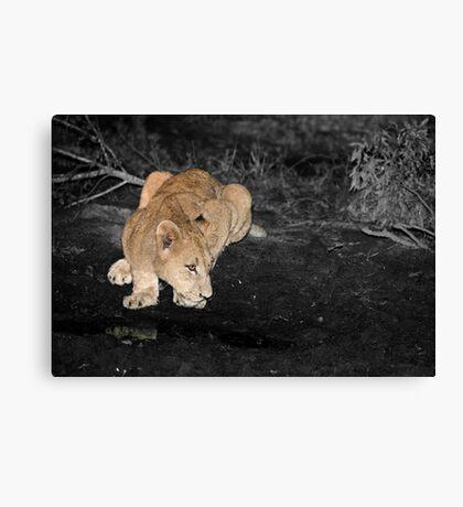 Lioness Drinking Canvas Print