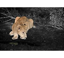 Lioness Drinking Photographic Print